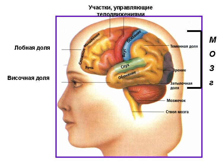 11. Головной мозг.