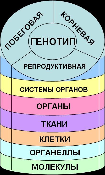 Схема работы аденилатциклазной