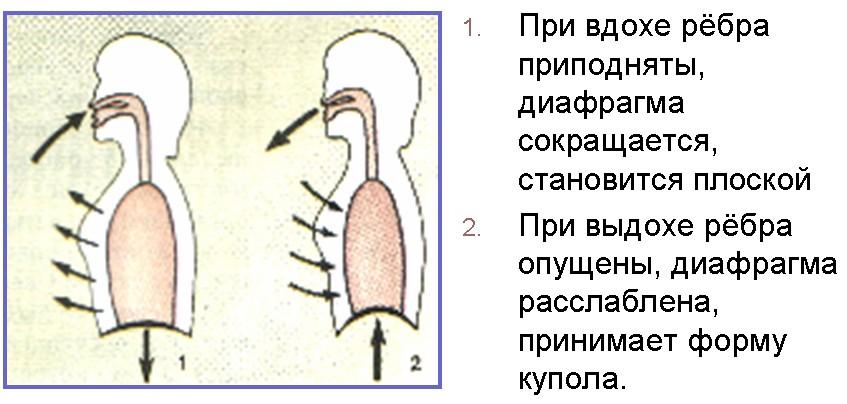 Схема строения почки