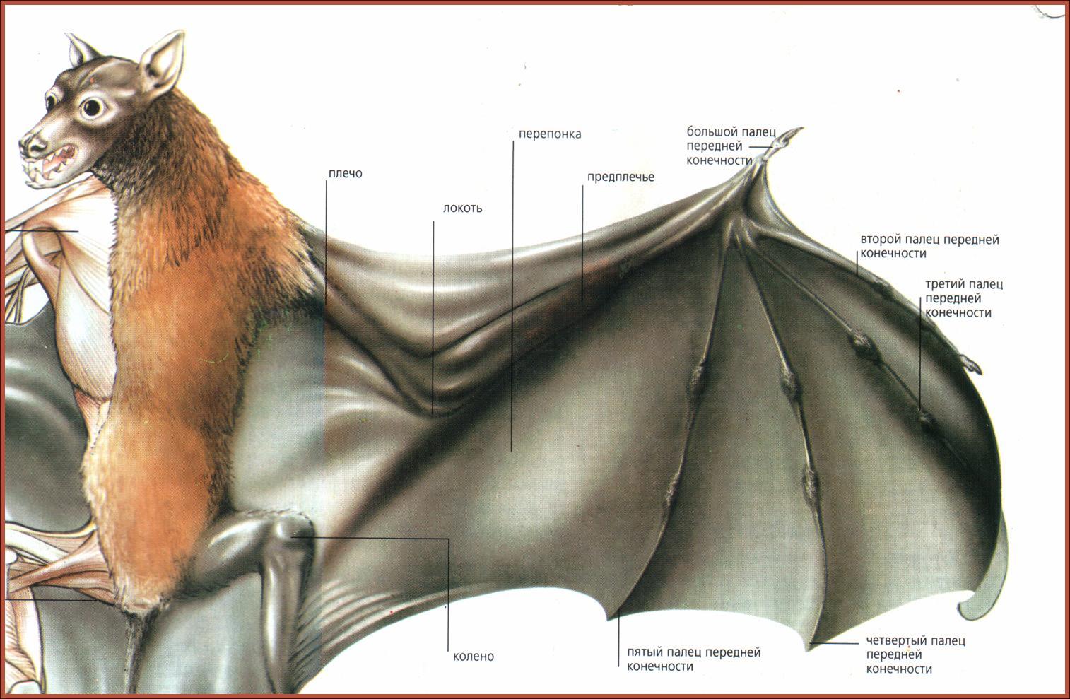 Схема крыла птицы