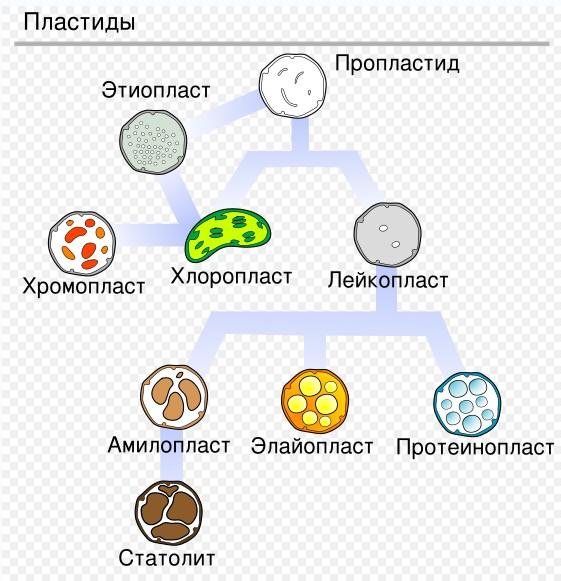 Схема «Животная и растительная