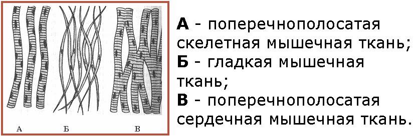 Схема «Виды мышечнои ткани»